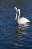 Greater flamingos. In France, Camargue region, by a sunny day of winter Royalty Free Stock Photo