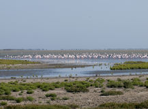 Greater flamingos in France Stock Images