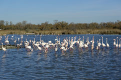 Greater flamingos. Group of greater flamingos in France, Camargue region, by a sunny day of winter Stock Image