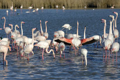 Greater flamingos. Group of greater flamingos in France, Camargue region, by a sunny day of winter Stock Photos