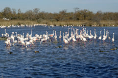 Greater flamingos. Group of greater flamingos in France, Camargue region, by a sunny day of winter stock photography