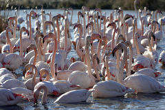 Greater flamingos. Group of greater flamingos in France, Camargue region, by a sunny day of winter Royalty Free Stock Image