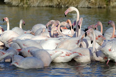 Greater flamingos. Group of greater flamingos in France, Camargue region, by a sunny day of winter Stock Photo