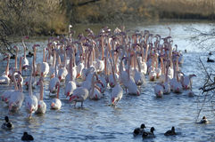 Greater flamingos. Group of greater flamingos in France, Camargue region, by a sunny day of winter royalty free stock photos
