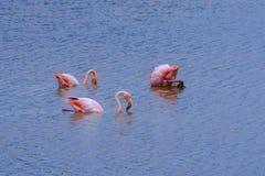 Greater Flamingos, Isabela island in Galapagos, Ecuador Royalty Free Stock Photography