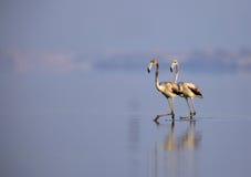 Greater Flamingos juvenile walking on calm water Stock Photo