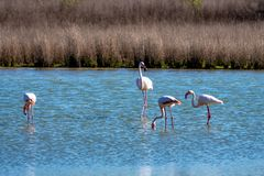 Greater Flamingos in Lagoon Fuente de Piedra, Andalusia, Spain. Greater Flamingos, Phoenicopterus roseus in Lagoon Fuente de Piedra, Andalusia, Spain. Some of stock images