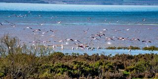 Greater Flamingos in Lagoon Fuente de Piedra, Andalusia, Spain. Greater Flamingos, Phoenicopterus roseus in Lagoon Fuente de Piedra, Andalusia, Spain. Some of royalty free stock images