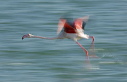 Greater Flamingos lifting up Royalty Free Stock Photos