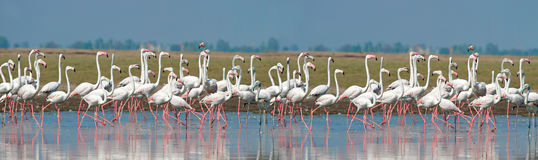 Greater Flamingos line up Royalty Free Stock Images