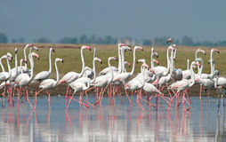 Greater Flamingos line up Royalty Free Stock Image