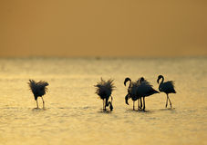 Greater Flamingos in the morning Royalty Free Stock Photos