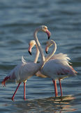 Greater Flamingos in morning light Stock Images