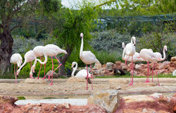 Greater Flamingos in a park Royalty Free Stock Image