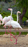 Greater Flamingos in a park Royalty Free Stock Photography