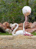 Greater Flamingos in a park Stock Image
