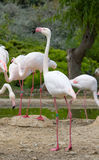 Greater Flamingos in a park Royalty Free Stock Images