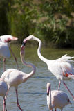 Greater flamingos (Phoenicopterus roseus. Fighting greater flamingos in Camargue stock photo