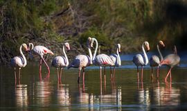 Greater flamingos, phoenicopterus roseus, Camargue Stock Images