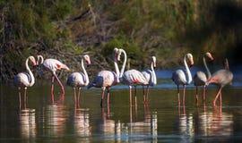 Greater flamingos, phoenicopterus roseus, Camargue Stock Images