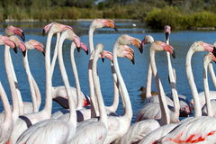 Greater flamingos, phoenicopterus roseus, Camargue Stock Photography