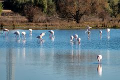 Greater Flamingos in Lagoon Fuente de Piedra, Andalusia, Spain. Greater Flamingos, Phoenicopterus roseus in Lagoon Fuente de Piedra, Andalusia, Spain. Some of stock image