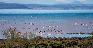 Greater Flamingos in Lagoon Fuente de Piedra, Andalusia, Spain. Greater Flamingos, Phoenicopterus roseus in Lagoon Fuente de Piedra, Andalusia, Spain. Some of royalty free stock photography