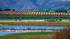Greater Flamingos in Lagoon Fuente de Piedra, Andalusia, Spain. Greater Flamingos, Phoenicopterus roseus in Lagoon Fuente de Piedra, Andalusia, Spain. Some of royalty free stock image