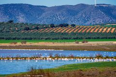 Greater Flamingos in Lagoon Fuente de Piedra, Andalusia, Spain. Greater Flamingos, Phoenicopterus roseus in Lagoon Fuente de Piedra, Andalusia, Spain. Some of stock photography