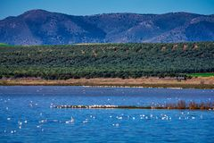 Greater Flamingos in Lagoon Fuente de Piedra, Andalusia, Spain. Greater Flamingos, Phoenicopterus roseus in Lagoon Fuente de Piedra, Andalusia, Spain. Some of royalty free stock photos