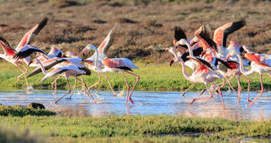Greater Flamingos (Phoenicopterus roseus) Royalty Free Stock Images