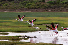 Greater Flamingos (Phoenicopterus roseus) Royalty Free Stock Images