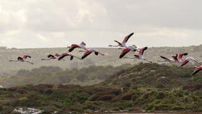 Greater Flamingos (Phoenicopterus roseus) Stock Photo