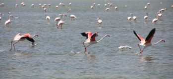 3 Greater Flamingos Phoenicopterus roseus taking off stock image