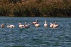 Greater Flamingos in a pond in Camargue Royalty Free Stock Photos