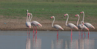 Greater Flamingos Royalty Free Stock Photo