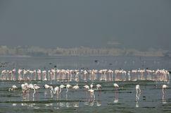 Greater Flamingos in row, Eker Bahrain Royalty Free Stock Images