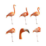 Greater Flamingos sleeping resting and standing isolated Royalty Free Stock Images