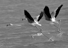 Greater Flamingos take off Royalty Free Stock Photo