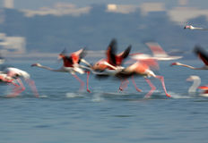 Greater Flamingos take off Royalty Free Stock Photography