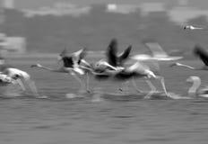 Greater Flamingos take off Stock Image