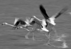 Greater Flamingos take off Stock Photos