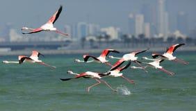 Greater Flamingos takeoff Royalty Free Stock Photos