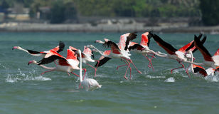 Greater Flamingos takeoff Royalty Free Stock Images