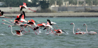 Greater Flamingos takeoff Royalty Free Stock Photography