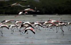 Greater Flamingos taking flight Royalty Free Stock Photos