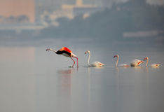 Greater Flamingos taking flight Royalty Free Stock Photography