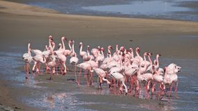 Greater flamingos at Walvis Bay in Namibia. Most of the greater flamingo`s plumage is pinkish white, but the wing coverts are red and the primary and secondary stock image