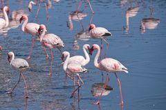 Greater flamingos at Walvis Bay in Namibia. Most of the greater flamingo`s plumage is pinkish white, but the wing coverts are red and the primary and secondary royalty free stock images