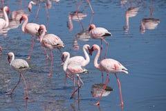 Greater flamingos at Walvis Bay in Namibia Royalty Free Stock Images